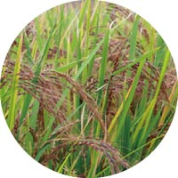Red rice extract